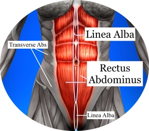 Abs - Female Anatomy Muscles
